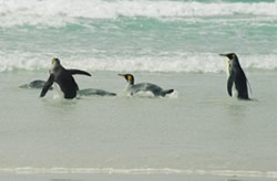 King penguins appreciating their natural environment, Volunteer Point, Falklands