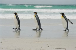 King penguins on quest. Volunteer Point, Falklands