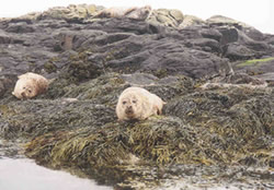 Common seals on Scottish shores