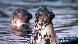 Grey seals making an appearance